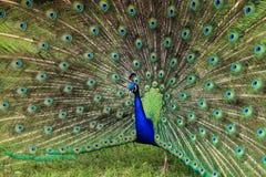 Ritratto di un uccello del pavone Immagine Stock Libera da Diritti