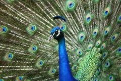 Ritratto di un uccello del pavone Immagini Stock Libere da Diritti