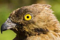 Ritratto di un uccello dell'aquila Immagini Stock