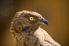Ritratto di un uccello dell'aquila Fotografie Stock Libere da Diritti