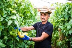 Ritratto di un uomo sul lavoro in pomodoro commerciale di produzione alimentare dei prodotti della serra della serra Fotografia Stock