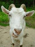 Ritratto di una capra Immagini Stock Libere da Diritti