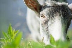 Ritratto di una capra che mangia un'erba su un prato verde Fotografia Stock