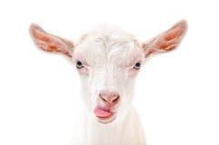 Ritratto di una capra che mostra lingua Fotografie Stock Libere da Diritti