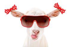 Ritratto di una capra divertente in occhiali da sole con gli archi sulle orecchie fotografia stock