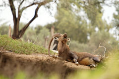 Ritratto di una capra selvaggia in natura Immagine Stock Libera da Diritti