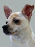 Ritratto di una chihuahua Fotografie Stock Libere da Diritti