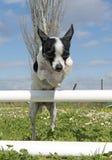 Chihuahua di salto Fotografie Stock