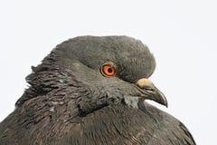 Ritratto di una colomba Fotografia Stock