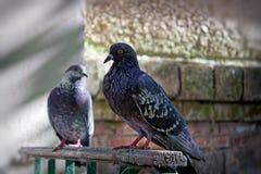 Ritratto di una colomba della via Immagini Stock Libere da Diritti