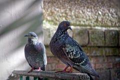 Ritratto di una colomba della via Immagine Stock