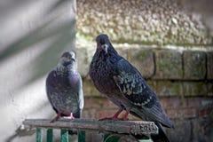 Ritratto di una colomba della via Fotografia Stock