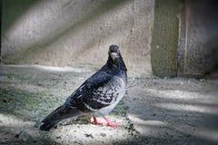 Ritratto di una colomba della via Fotografia Stock Libera da Diritti