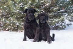 Ritratto di una coppia il cane dello schnauzer su neve Fotografie Stock