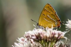 Ritratto di una farfalla Fotografie Stock