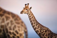 Ritratto di una giraffa Immagine Stock Libera da Diritti