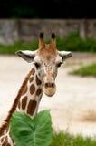 Ritratto di una giraffa Fotografia Stock Libera da Diritti