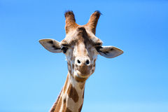 Ritratto di una giraffa curiosa (camelopardalis del Giraffa) sopra il blu fotografie stock libere da diritti