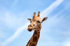 Ritratto di una giraffa curiosa (camelopardalis del Giraffa) sopra il blu fotografia stock libera da diritti