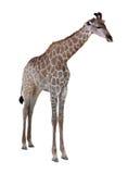 Ritratto di una giraffa isolata su fondo bianco Fotografia Stock Libera da Diritti