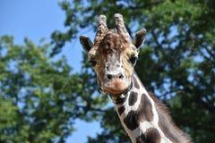 Ritratto di una giraffa macchiata contro il cielo fotografie stock libere da diritti