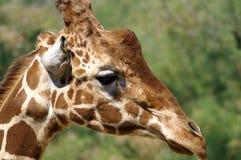 Ritratto di una giraffa nel profilo immagine stock