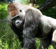 Ritratto di una gorilla enorme Fotografie Stock Libere da Diritti