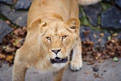 Ritratto di una leonessa immagini stock