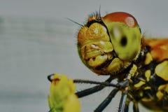 Ritratto di una libellula immagini stock libere da diritti