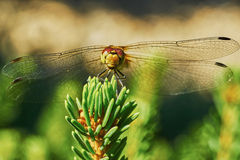 Ritratto di una libellula fotografia stock