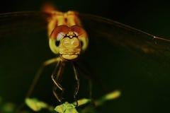 Ritratto di una libellula fotografie stock