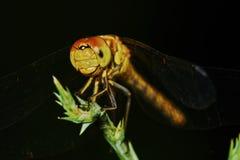 Ritratto di una libellula fotografia stock libera da diritti