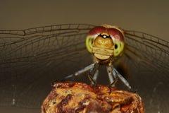 Ritratto di una libellula immagine stock