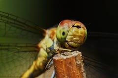 Ritratto di una libellula immagine stock libera da diritti
