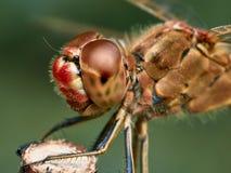 Ritratto di una libellula rossa fotografia stock