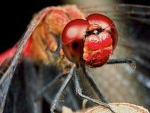 Ritratto di una libellula rossa fotografie stock