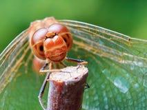 Ritratto di una libellula rossa fotografie stock libere da diritti