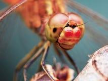 Ritratto di una libellula rossa fotografia stock libera da diritti
