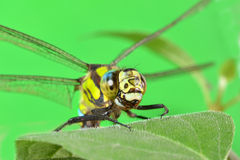 Ritratto di una libellula su una foglia verde Fotografia Stock