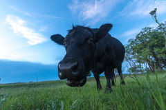 Ritratto di una mucca Immagine Stock Libera da Diritti