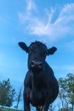 Ritratto di una mucca Immagini Stock