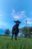 Ritratto di una mucca Fotografia Stock