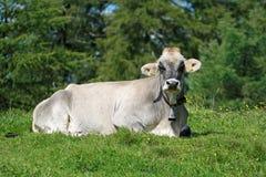 Ritratto di una mucca bianca che si trova nel prato immagini stock libere da diritti