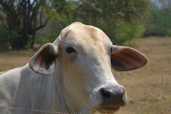 Ritratto di una mucca bianca in Costa Rica fotografia stock libera da diritti