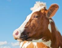 Ritratto di una mucca rossa contro un cielo blu Fotografia Stock Libera da Diritti