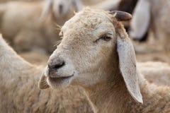 Ritratto di una pecora fotografia stock libera da diritti