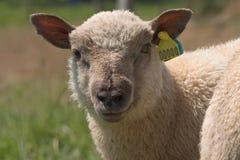 Ritratto di una pecora Fotografie Stock Libere da Diritti