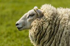 Ritratto di una pecora Immagine Stock Libera da Diritti