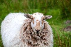 Ritratto di una pecora Fotografia Stock