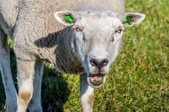 Ritratto di una pecora di belato con i marchi verdi Immagine Stock Libera da Diritti